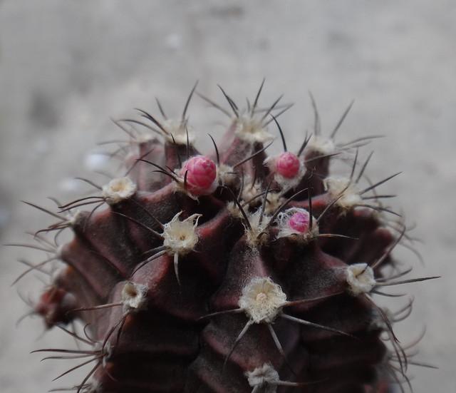 Gymnocalycium friedrichii, buds in progress