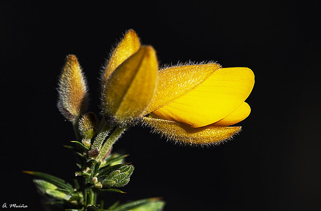 The gorse flower (ulex). La flor del tojo