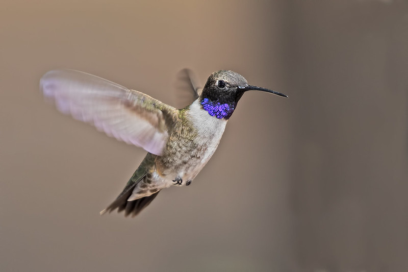 Black-chinned-Hummer-40-7D2-041719