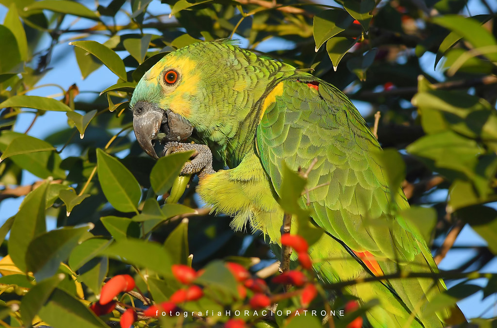 - LORO HABLADOR ( Amazona aestiva ) toma en reserva PARQUE SARMIENTO .Argentina Buenos Aires.
