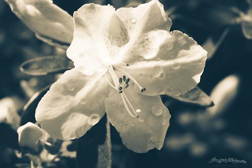 america bw bethesda dew flora flower garden leaves macro maryland monochrome northamerica petals spring stamen usa unitedstates rhododendron
