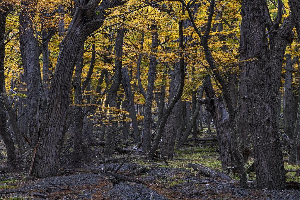 The autumn forest - El Chalten