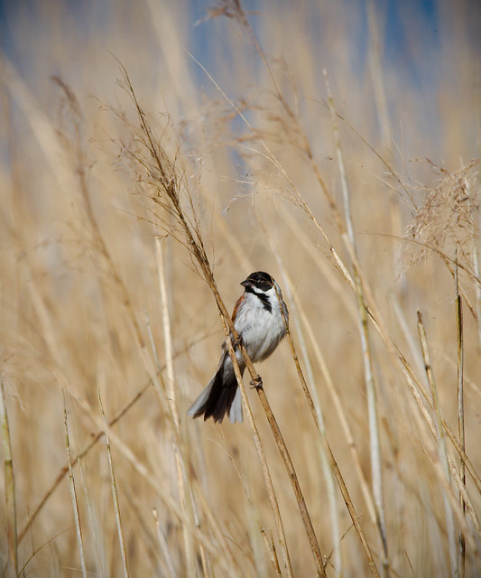 Common Reed Bunting - IMG_1720 - Edited