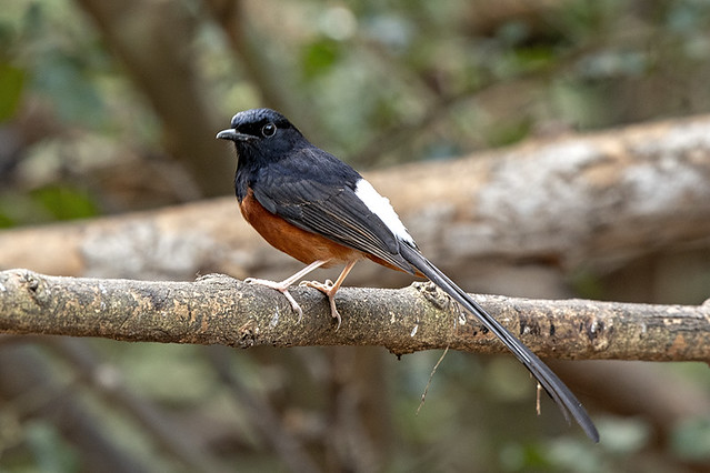 Kaeng Krachan N.P.: White-rumped Shama at the Blind