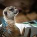 Mischievous Meerkat