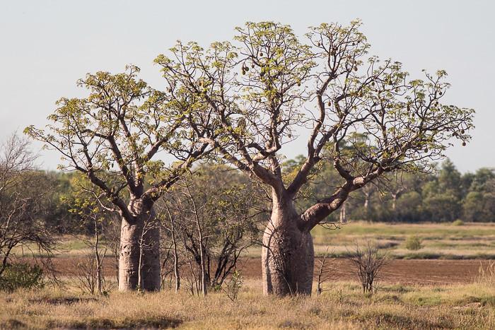 boab trees