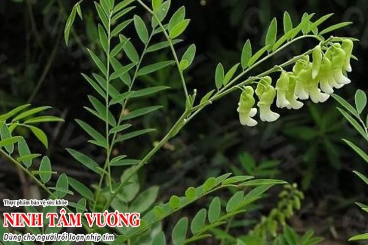 TPBVSK Ninh Tâm Vương có chứa thảo dược Khổ sâm dùng cho người rối loạn nhịp tim