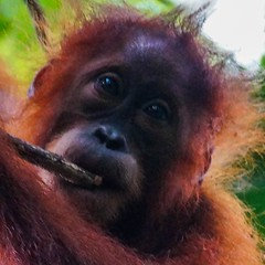 Travel Tips a great Jungle trekking experience to meet Orangutan in the wild Contact now.. WhatsApp +6282161735162 Email: adi.look25@gmail.com   #bukitlawang #sumatra #indonesia #jakarta #bali #singapore #students #university #job #work #vacation #travel