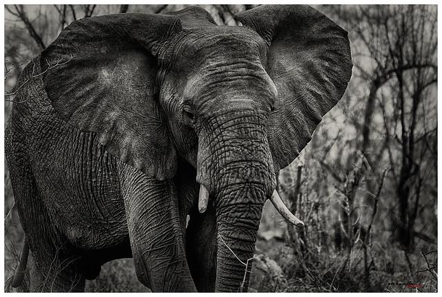 Elefante, Parque Kruger