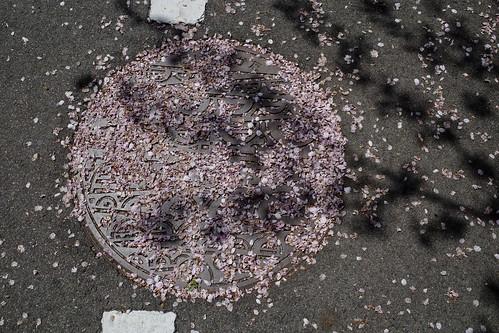 平成最後の桜は美しく