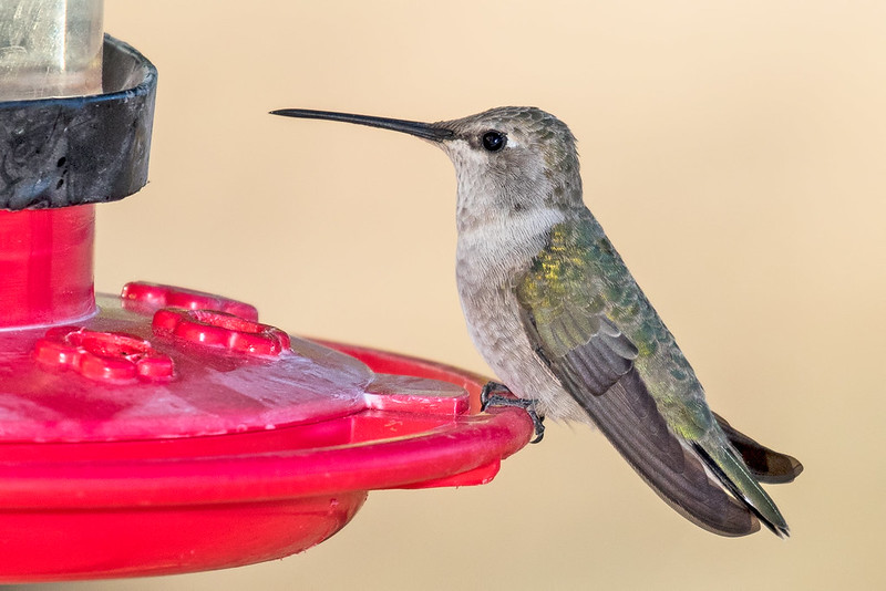 Black-chinned-Hummer-39-7D2-041619