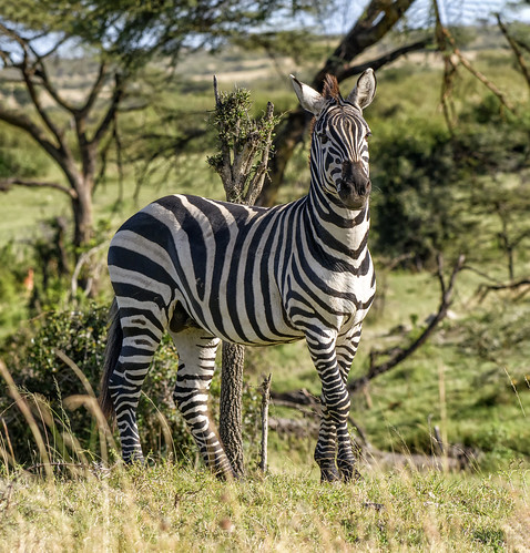 PLAIN'S ZEBRA: AFRICAN BAR CODES
