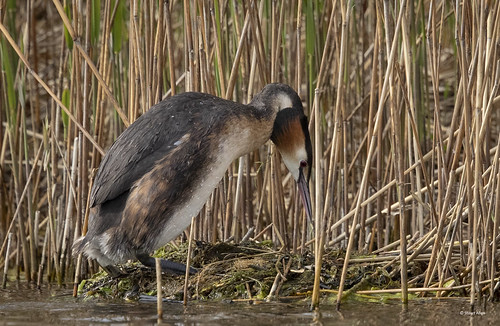 Great Crested Grebe_B9A1302