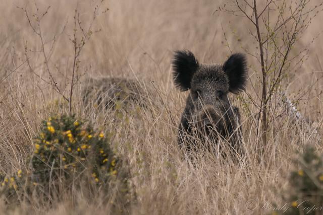 Wild Boar Sus scrofa-8853