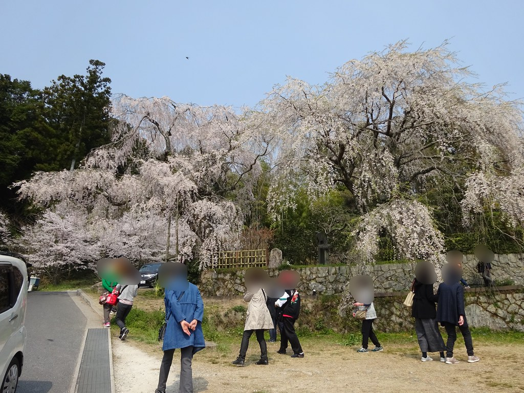 神原のしだれ桜