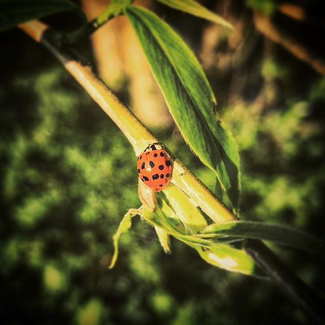 """[\] • """"Ladybird, ladybird fly away home / Your house is on fire and your children are gone / Ladybird, ladybird get on with your task / Social services have some grave questions to ask"""" • #nature #tenburywells #nash #shropshire #sinisternurseryrhymes #nur"""