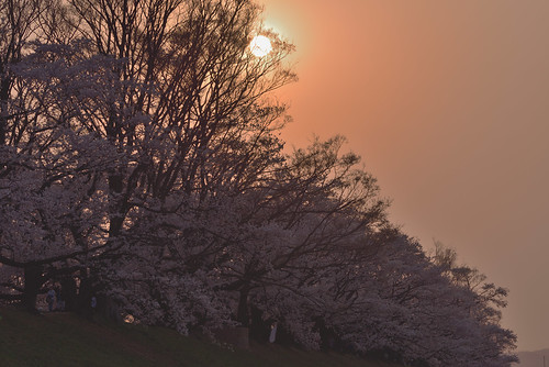 japan kyoto 京都府 八幡市 背割堤 桜 cherry 川 river 淀川 日の出 sunrise