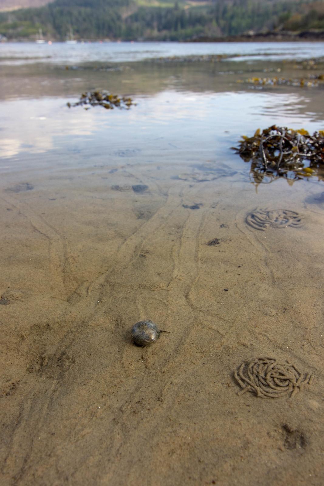 Sea snails seen along the shore in Plockton