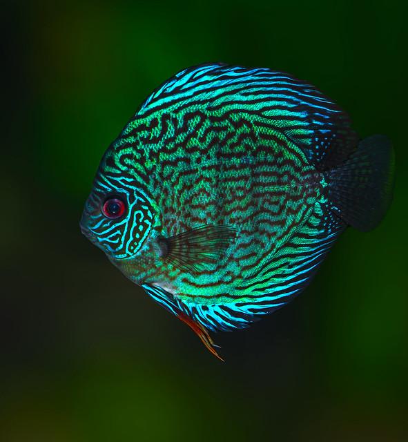 Turquoise discus 3