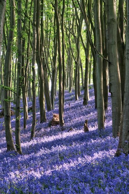 Bluebells, Prior's Wood,Bristol