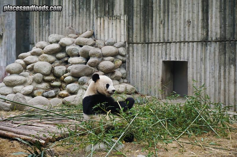 china chengdu panda eating
