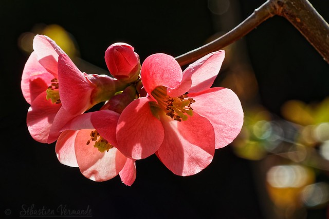 New life - Chaenomeles japonica