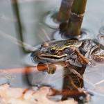 "So, 31.03.19 - 15:36 - Pelophylax ""esculentus"" Edible frog"