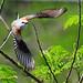 Scissor-tailed Flycatcher by cwnlsl