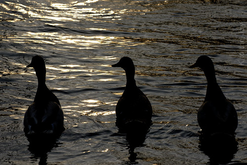 bird duck mallard sunset silhouette waterfowl