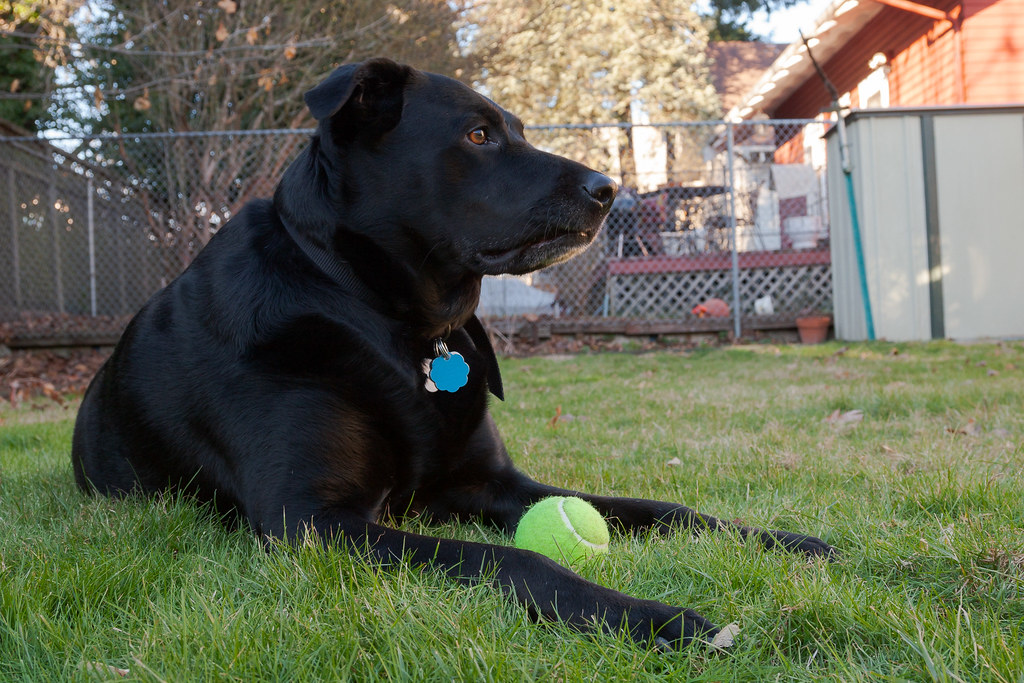 Our dog Ellie sitting with her tennis ball in our backyard in Portland, Oregon, a week after we adopted her
