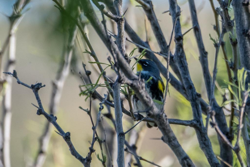 Myrtle's and Audubon's Warbler-1