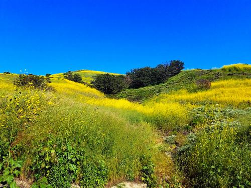 missionviejo california photo digital spring meadow forest oaks mustard yellow bigbloom foothills