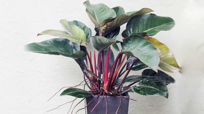 Jenis Philodendron imperial-red-cardinal