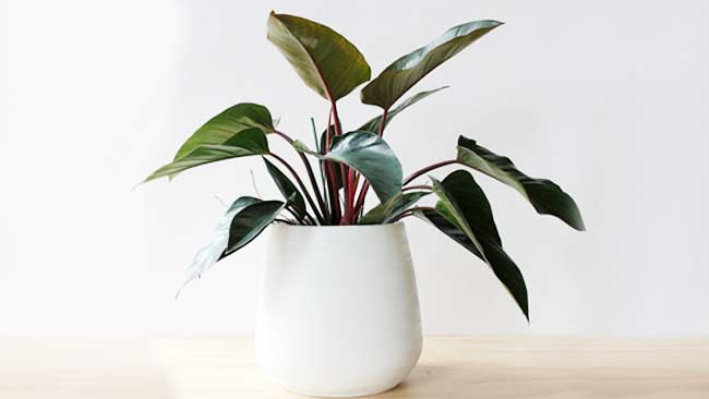 Jenis Philodendron congo-rojo