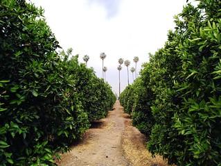 Orange Grove and Palm Trees