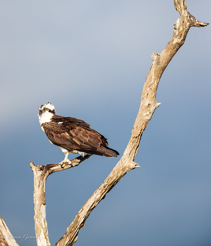 osprey action background bird florida raptor sunrise vierawetlands wildlife melbourne unitedstatesofamerica