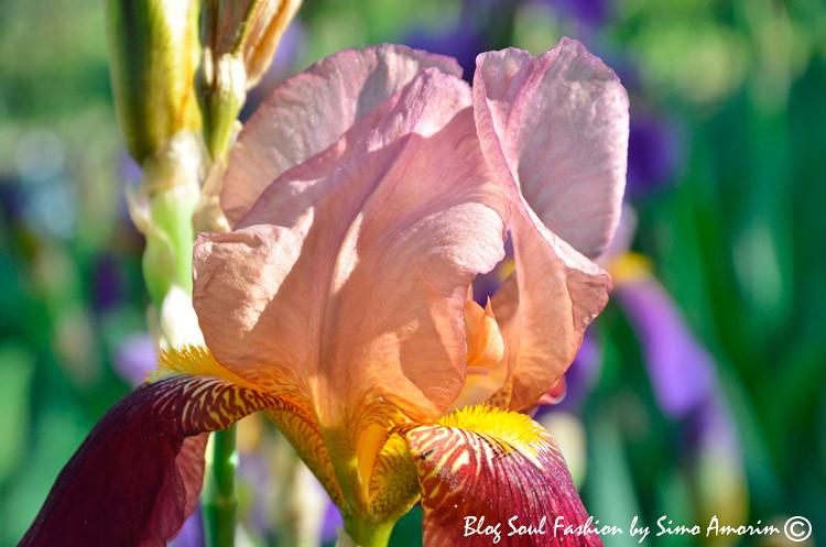 Wow! Linda de mais a flor da íris