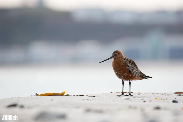 Bar-tailed godwit @ Helgoland 2019