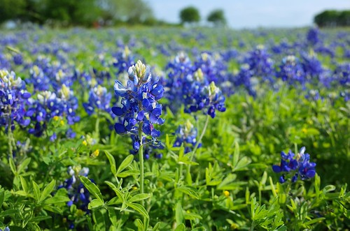 Bluebonnets! | by seeit_snapit