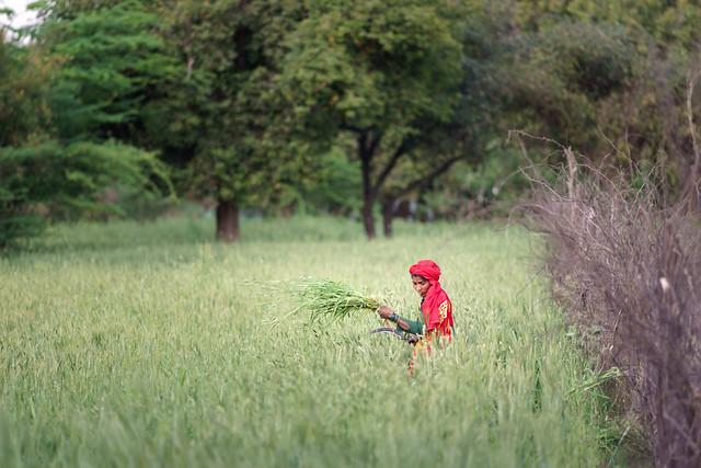 Wheat - Nikon 180mm 2.8