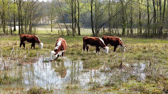 Hereford koeien op Kwintelooyen