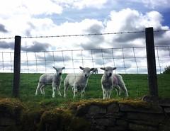 Lamb fest.