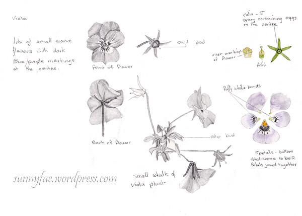 flower drawing homework wk4 Viola
