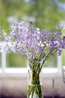 Wild hyacinth / Divlji zumbuli