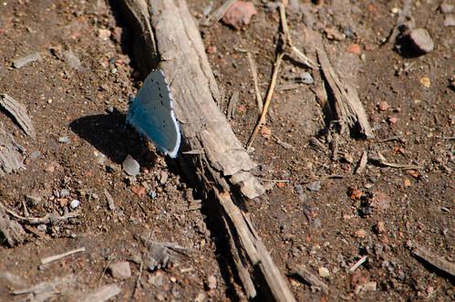 Holly blue butterfly walking along