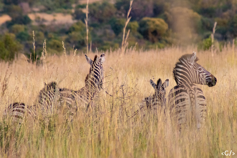 Zebras on the lookout for lions
