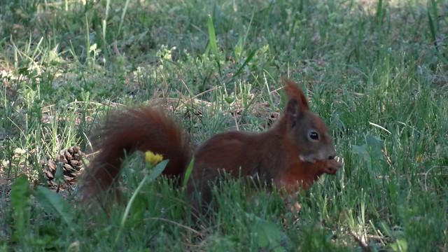 Eichhörnchen eilt herbei, auf das Geschrei kommt die Eichhörnchen Schar, es droht Gefahr, auch in den Zweigen springenEichhörnchen auf und nieder, und rings aus den Zweigen schauen all die Eichhörnchen, das ganze Volk der Eichhörnchen, voll Neugier auf die Wanderer 02273