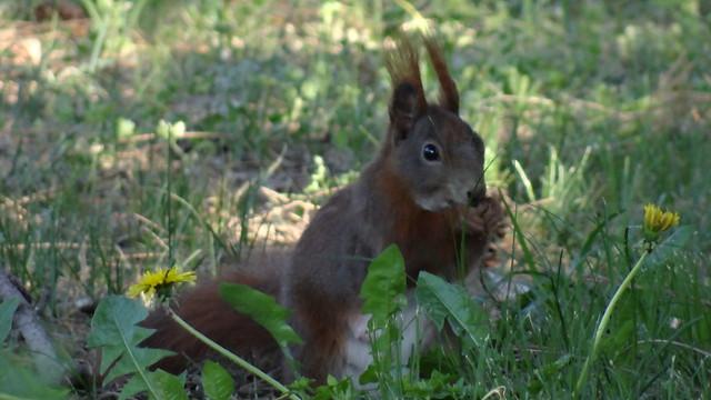 Mit einigen Eichhörnchen Sonnenstäubchen fangen und, wenn sie genug hatten, solche durch das feinste Haarsieb sieben um das Regenwasser darin aufzufangen, da ging es viel feiner zu, die Eichhörnchen mußten mit Haselnußschalen den Tau aus den Rosen schöpfen, und das war das Trinkwasser der Eichhörnchen  02271