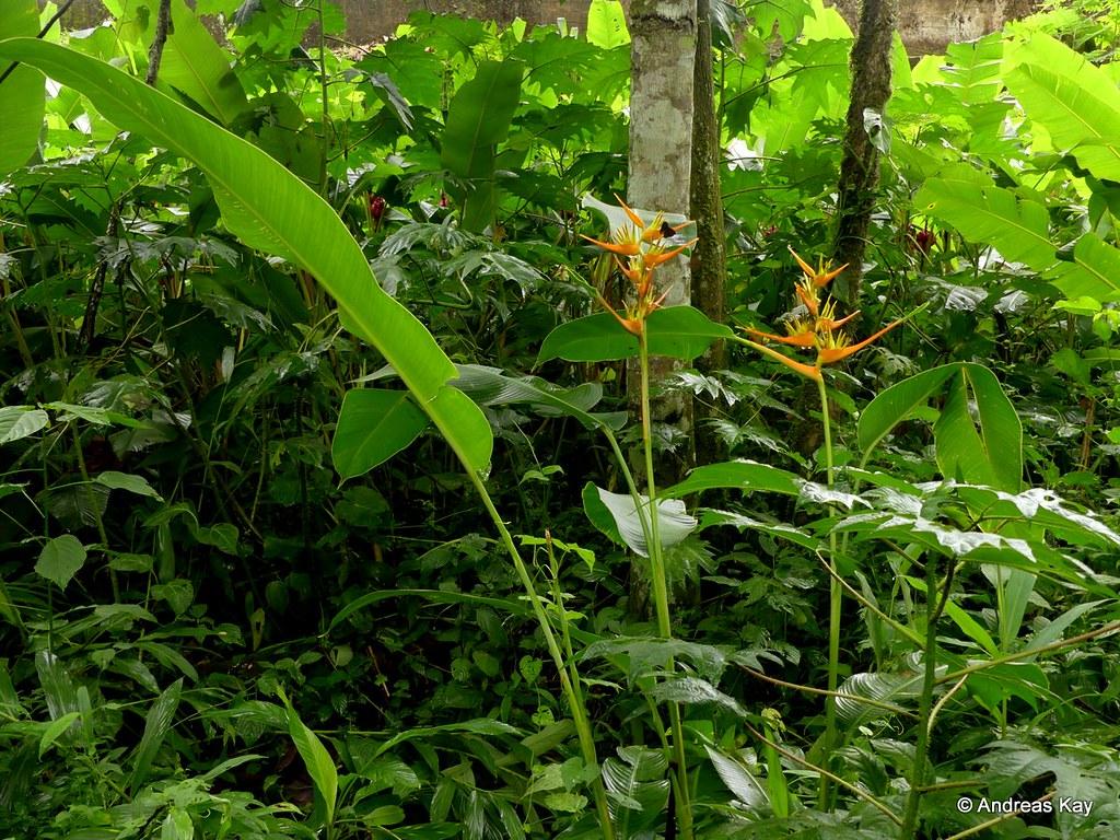Heliconia latispatha, Heliconiaceae