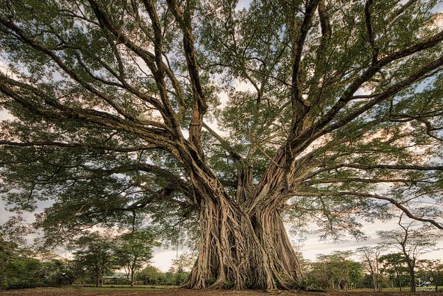 The Century Tree(s)